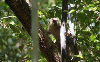 Ankarana - Eulemur fulvus sanfordi - Lémur mâle de Sanford (Madagascar)