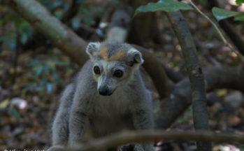 Ankarana - Eulemur coronatus - Lémur femelle couronné (Madagascar)