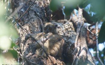 Ankarana - Lepilemur septentrionalis (Madagascar)