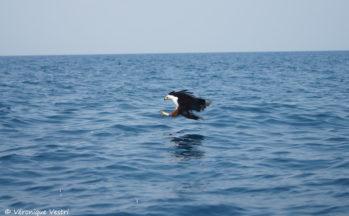 Aigle pêcheur - Cape Maclear - Ile Thembi West (Malawi)