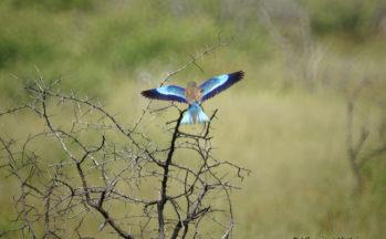 Etosha - Rollier à long brin (Namibie)