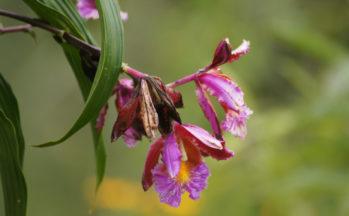 Orchidée bambou (Machu Picchu - Pérou)