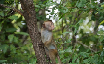 Route de Trincomalee à Polonnaruwa - Macaque (Sri Lanka)